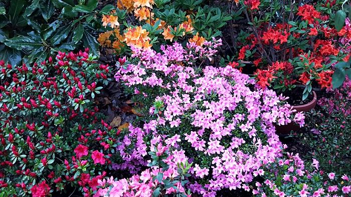 1° maggio tra i fiori: azalee
