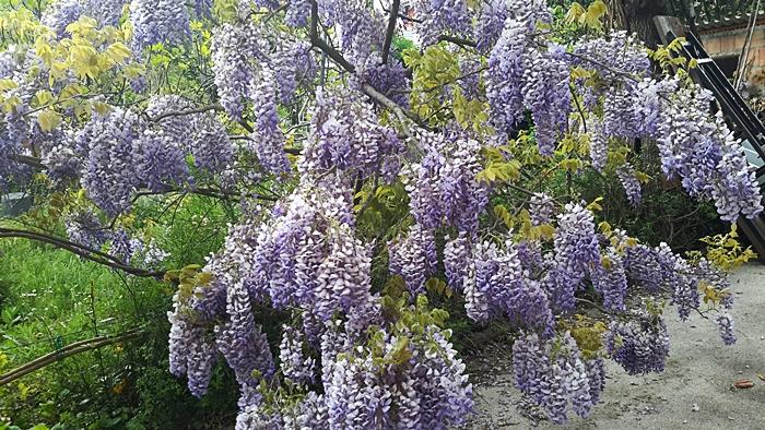 1° maggio tra i fiori: glicine
